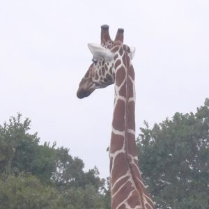 A popular charity issue, saving game in Africa. A giraffe in a game park in Kenya